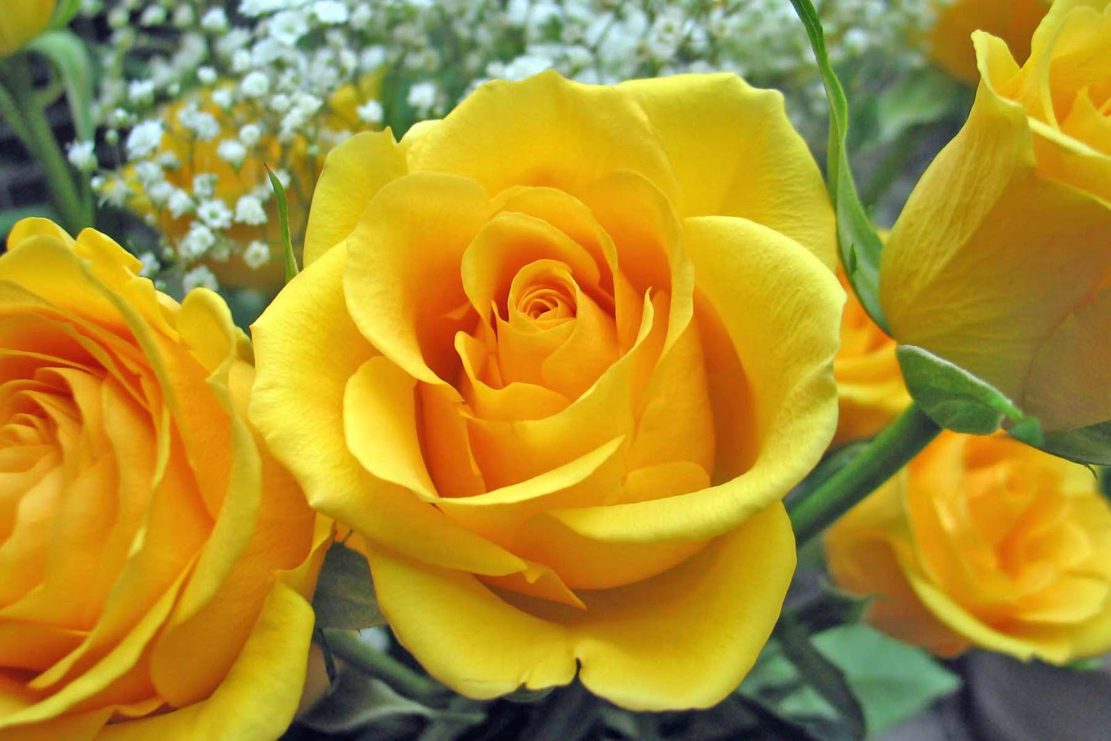 http://1.bp.blogspot.com/-EiIVhIblH20/TV311sY_JyI/AAAAAAAAJAo/OOE_BRgrndE/s1600/yellow+rose+flowers+wallpapers+%25283%2529.jpg