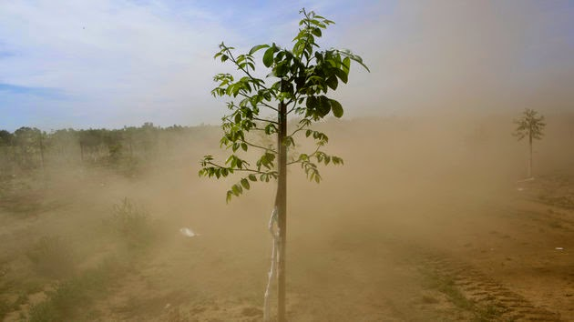 Dusty sapling with grafts (Credit: Jae C. Hong/AP) Click to enlarge.