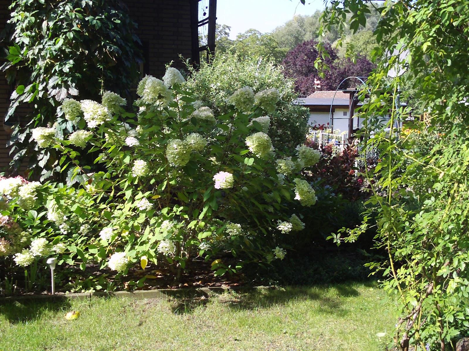 rispenhortensie limelight hydrangea paniculata. Black Bedroom Furniture Sets. Home Design Ideas