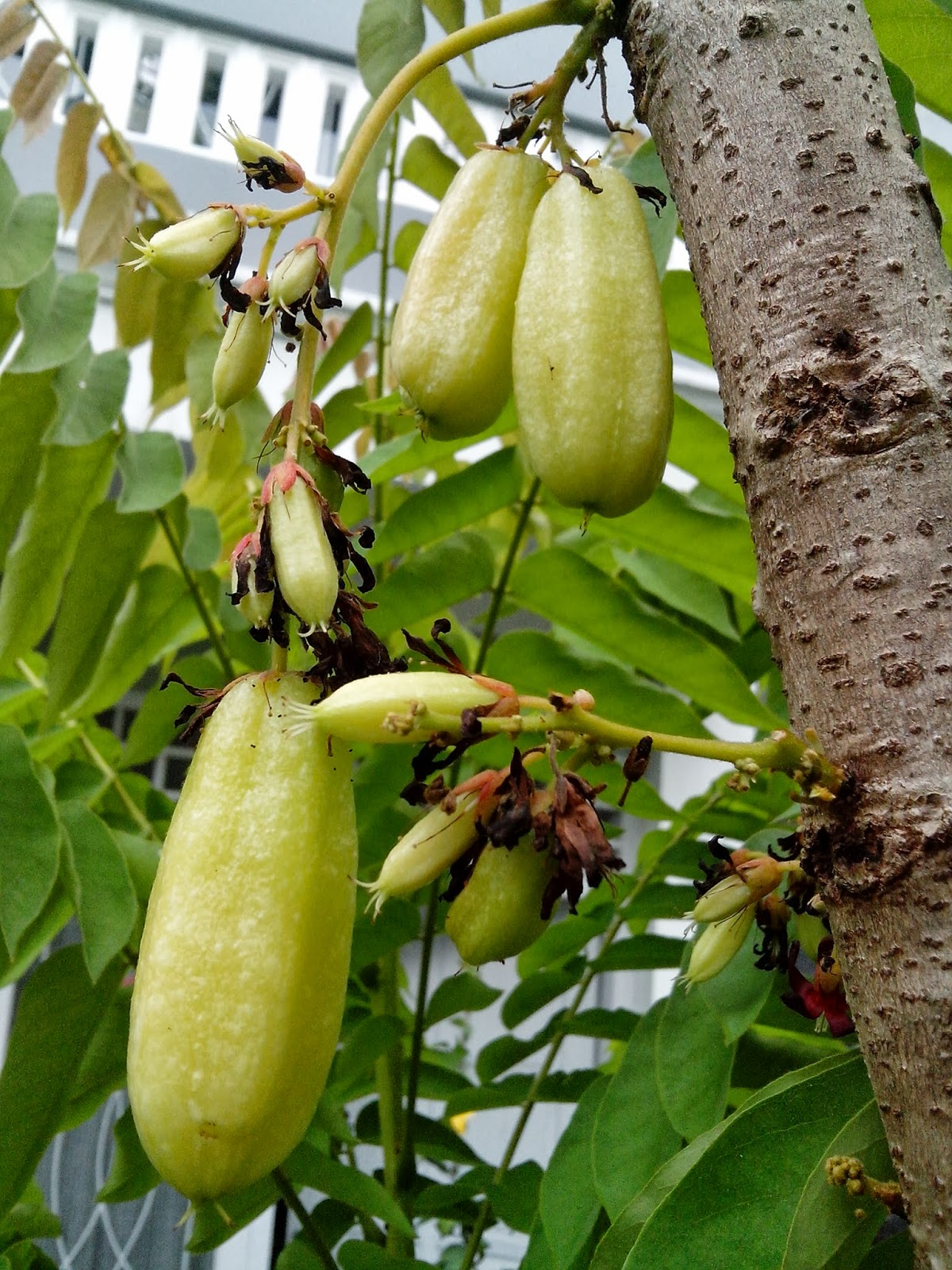 bilimbi averrhoa as stain remover essay Averrhoa bilimbi fruit or famously known as cucumber tree fruit the default choice for many people would be the wart removal treatments that are offered in.