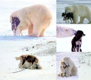 Urso Polar faz amizade com um cachorro Husky Siberiano