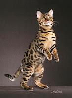 Asian Leopard Cat yang sering disebut sebagai Bengal Tiger.