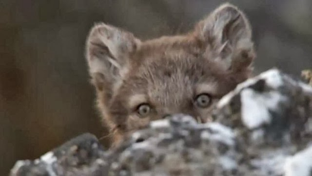 Arctic fox cubs - playing, feeding, suckling (Video)
