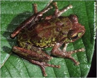 Siril Wijesundara's Shrub Frog, Pseudophilautus sirilwijesundarai, Siril Wijesundarage panduru madiya, endemic frogs of sri lanka, threats to endemic amphibians, sri lanka