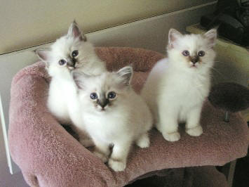 Breeding and Litter Size of Birman Cats