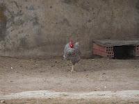 La asombrosa gallina de una pata..
