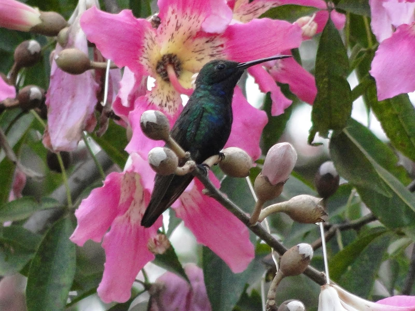 Beija-flores de Arceburgo - Numero 2