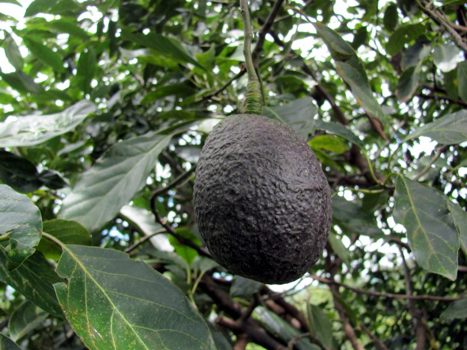 fertilizacion aguacate: