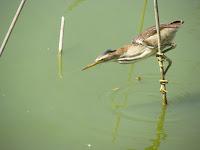 Individuata la preda, il tarabusino usa la canna come una fionda