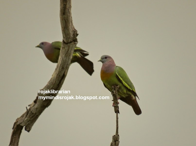 Pink neck Pigeons in Tampines Eco Green