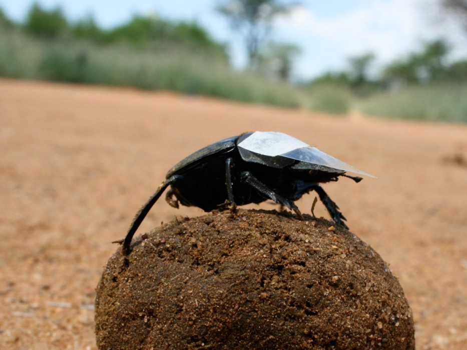 dung bettle We assigned dung beetle species to functional groups based on food relocation, beetle size, daily activity period and food preferences, and as measures of functional diversity we used estimates based on multivariate methods in montes azules functional richness was lower in the pastures than in.