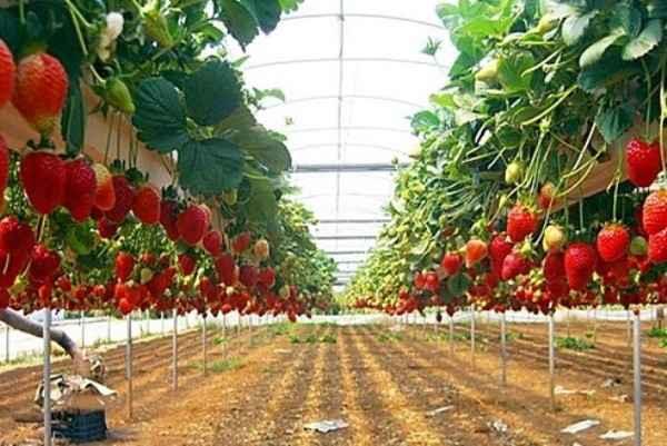 Kebun Strawberry Paket Wisata Tangkuban Perahu, Ciater, Lembang Murah