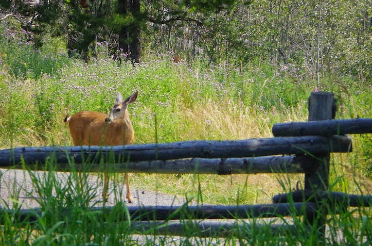 Deer at Black Pine Ranch. From BTBU BLOG