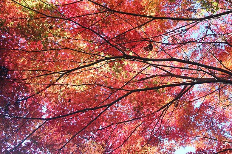 MOMIJI TREE