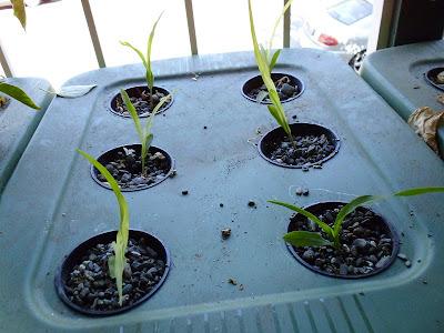 Hydroponic corn