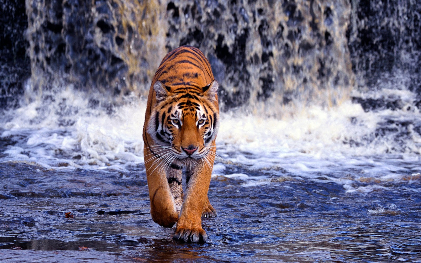 bengal tigers latest hd wallpapers 2013 top hd animals