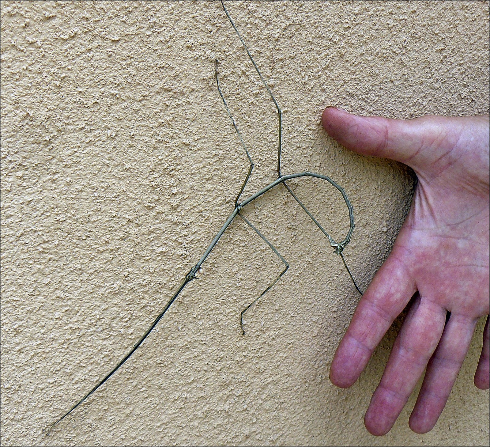 Long stick insect on stucco wall