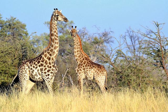 Giraffa Wallpapers Free Download