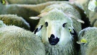 Mouton de l'Aïd al-Adha 2012