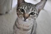 Twinkie Cat