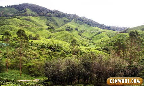 cameron tea plantation