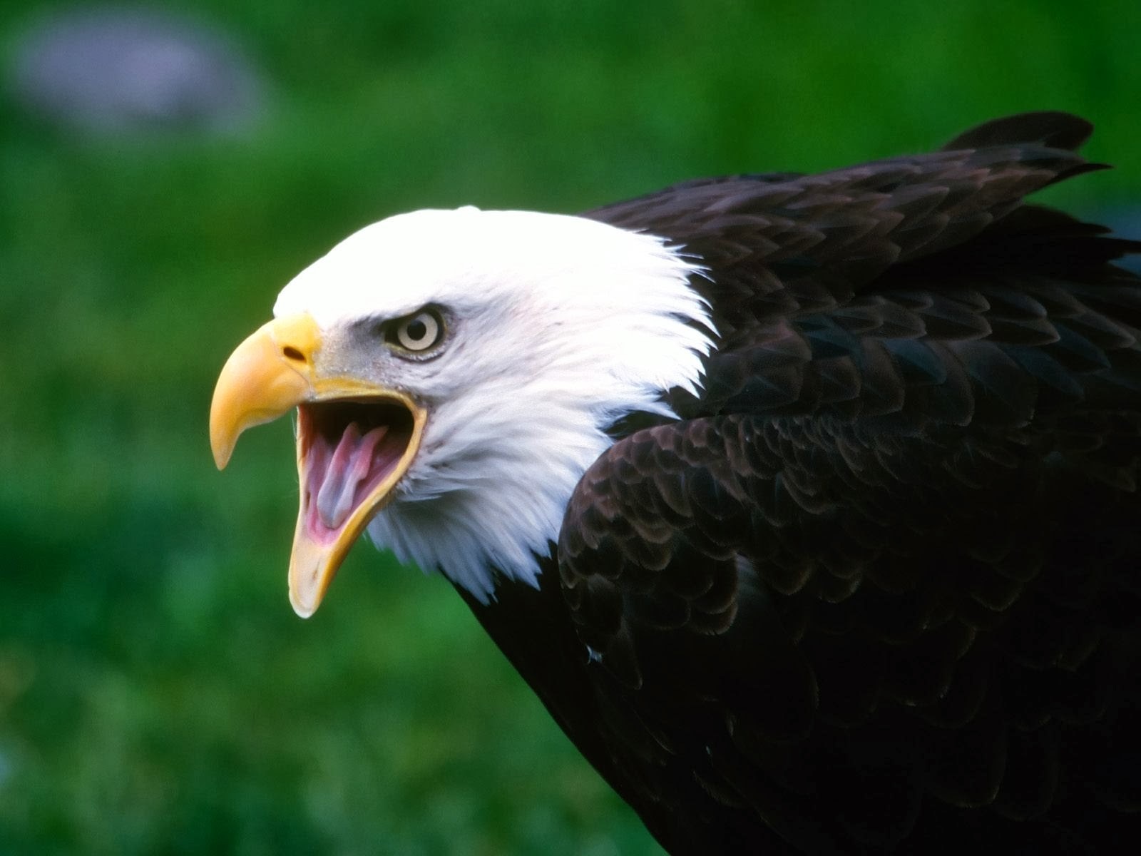 Must see   Wallpaper Horse Eagle - Eagle+wallpapers+hd+(3)  Photograph_18522.jpg