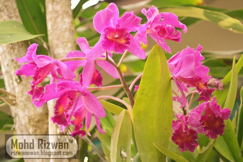 Hasil Nikon Bunga Orkid Malaysia
