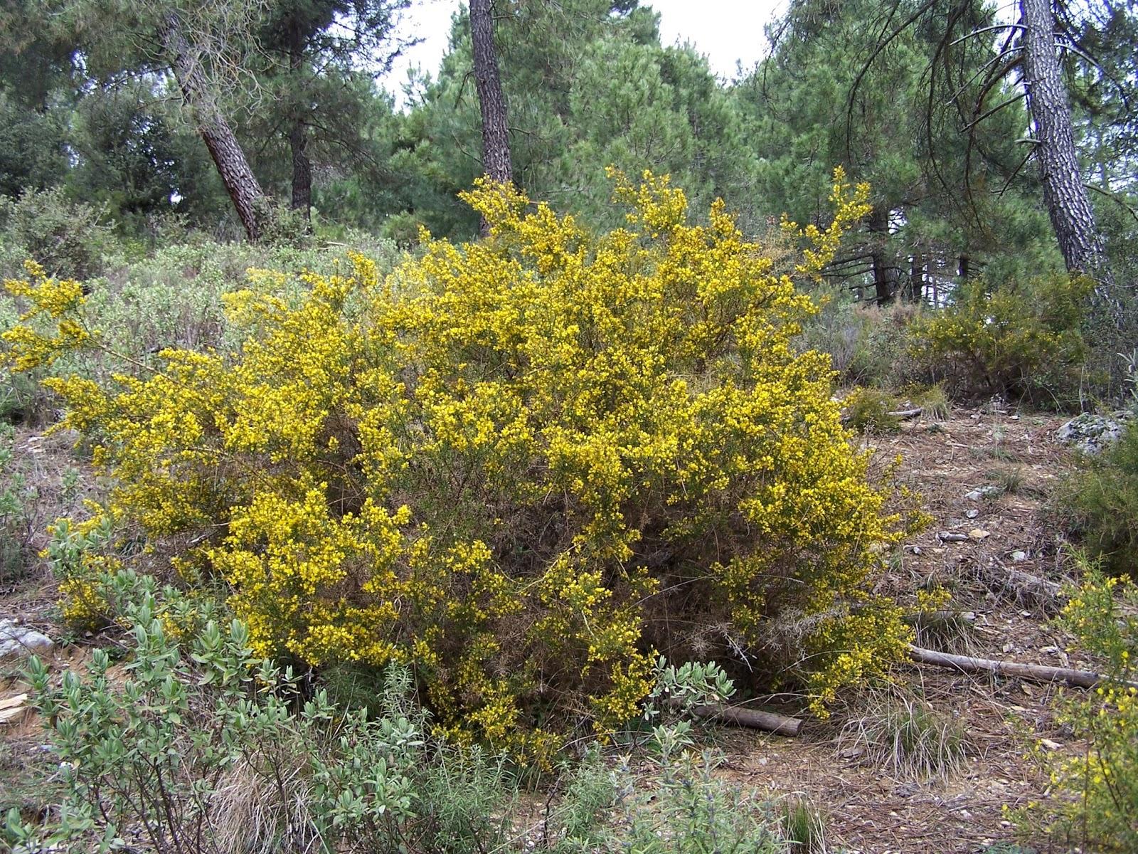 es un arbusto ramificado de largas y recias espinas punzantes carece de hojas propiamente dichas y en su lugar forma espinas de la axila de