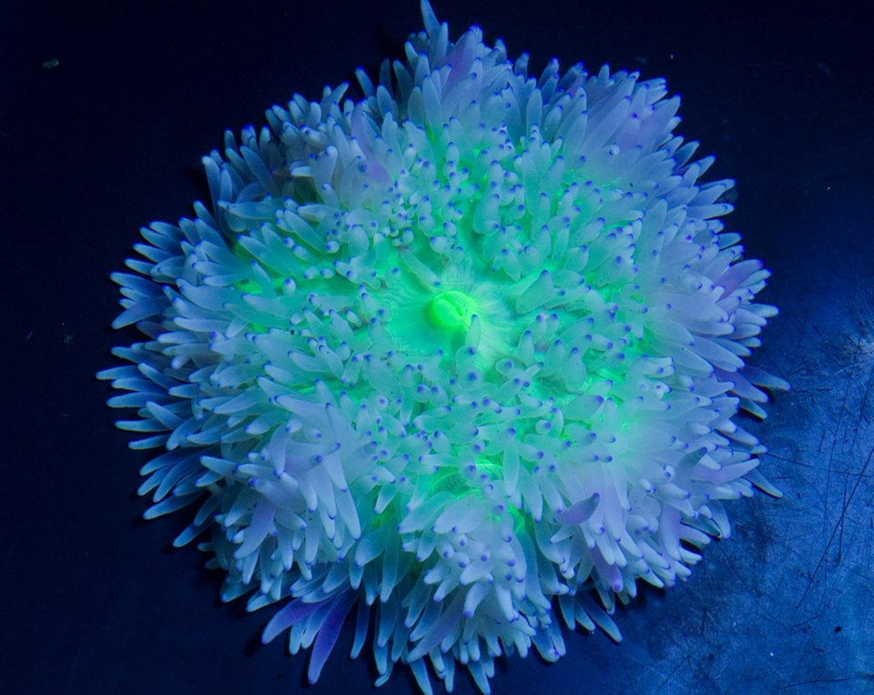 Posted by Dwaraka India at 22 58 No commentsWhite Anemone Saltwater