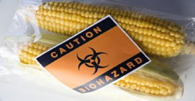 800 Scientists Demand Global GMO Experiment End - Caution Biohazard Corn Genetically Modified Organisms - Food - Nutrition