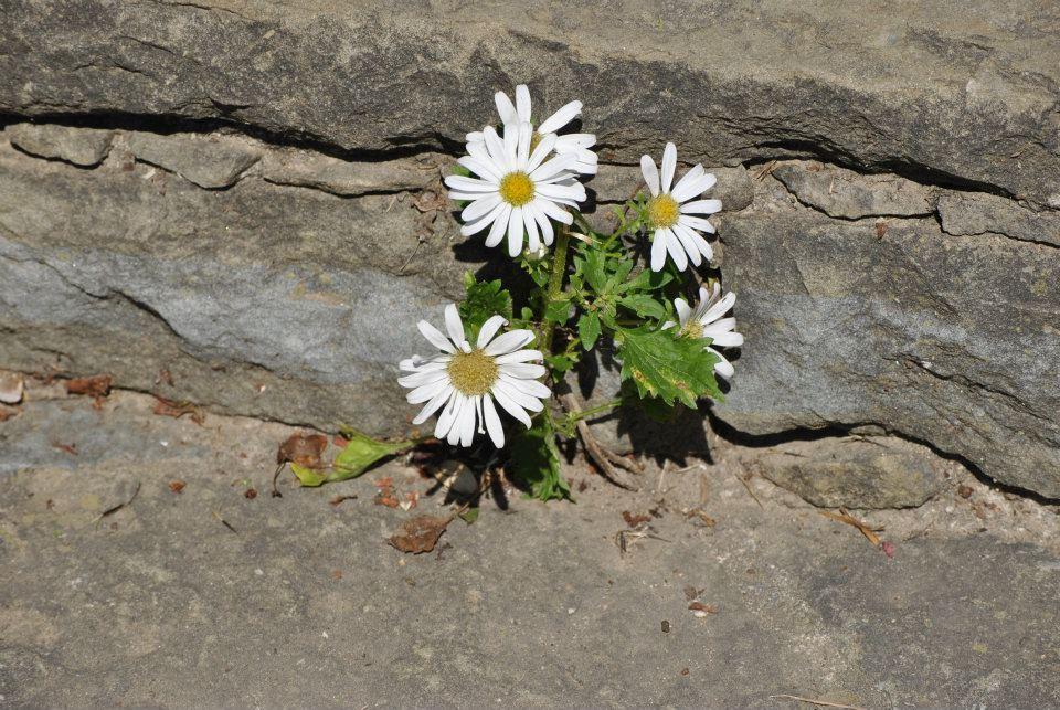 Resultado de imagen de flor humilde entre flores bellas