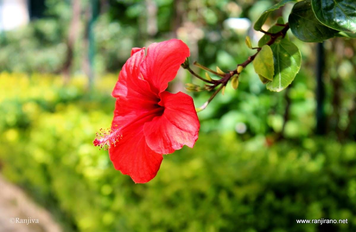 Au d tour d 39 une balade des hibiscus rouges et la couleur for Que represente la couleur rouge