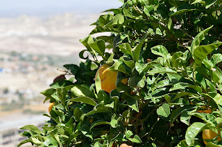 Orange tree at Lorca castle