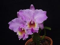 Orquídea da Amiga Rosangela