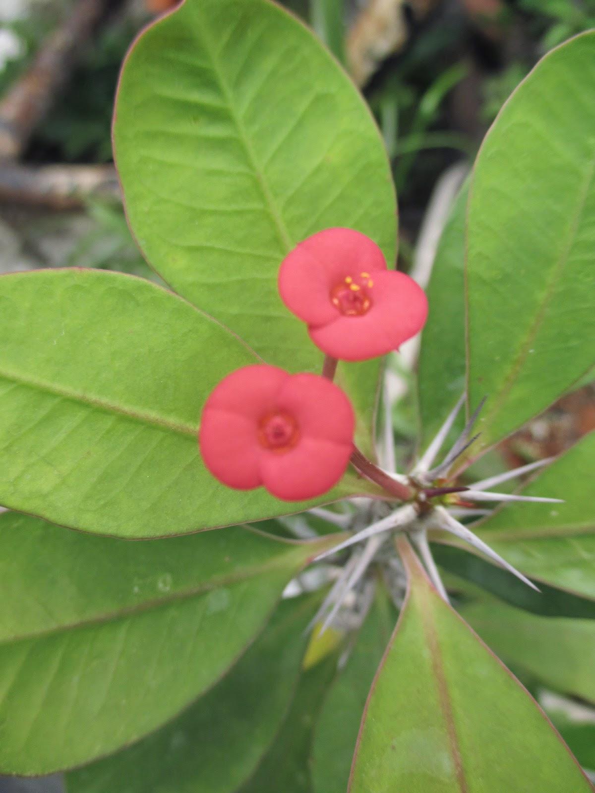 Garden Chronicles Crown Of Thorns Desert Rose