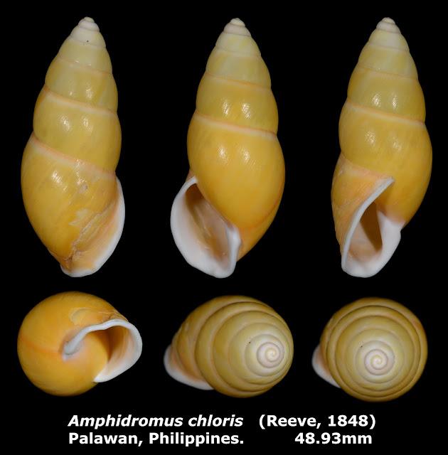 Amphidromus chloris 48.93mm
