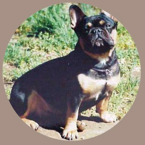 Musings Of A Biologist And Dog Lover Mismark Case Study French Bulldog