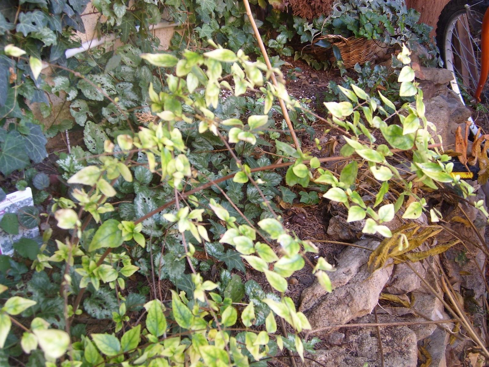 Le jardin de pascaline arbuste sur tige ex cution for Arbuste de jardin