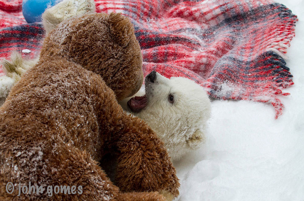 Beautiful Orphaned Baby Polar Bear
