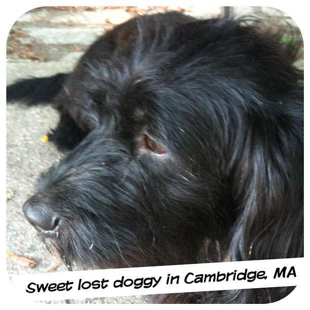 Lost Dog found at corner of Mt. Auburn and Mass Ave.  in Cambridge MA, August 20, 2012
