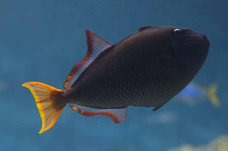 Redtail triggerfish (female)