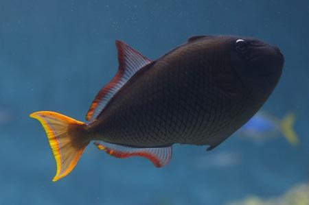 Redtail triggerfish (female)