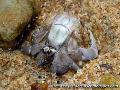 Land Hermit Crab (Coenobita sp.)