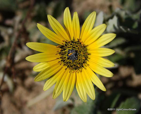 Cape Daisy (Osteospermum ecklonis)