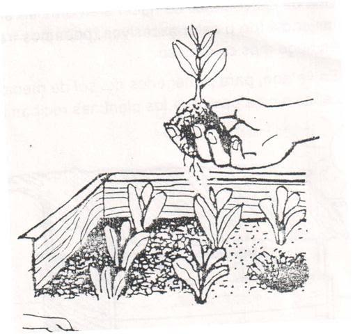 E e t n 486 o f c horticultura unidad nro 3 transplante for Horticultura definicion
