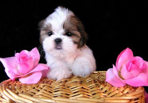 High Resolution Cute Puppy Pictures
