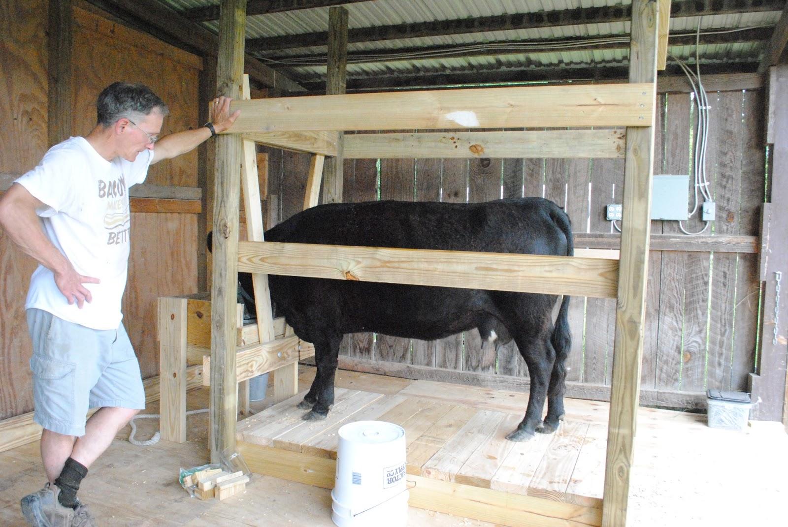Adventures On Zephyr Hill Farm Our Dexter Milking