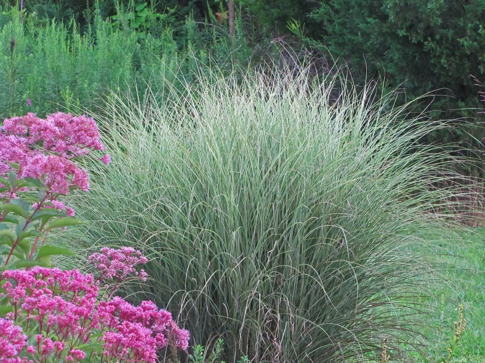 Ornamental grasses take the spotlight an obsessive for Ornamental gresses