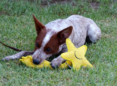 Australian stumpy tail cattle dog chewing stuffy