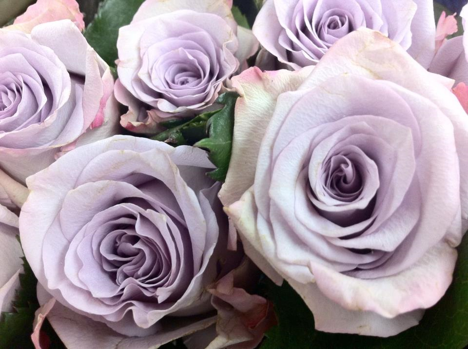 Image result for Lavender Roses